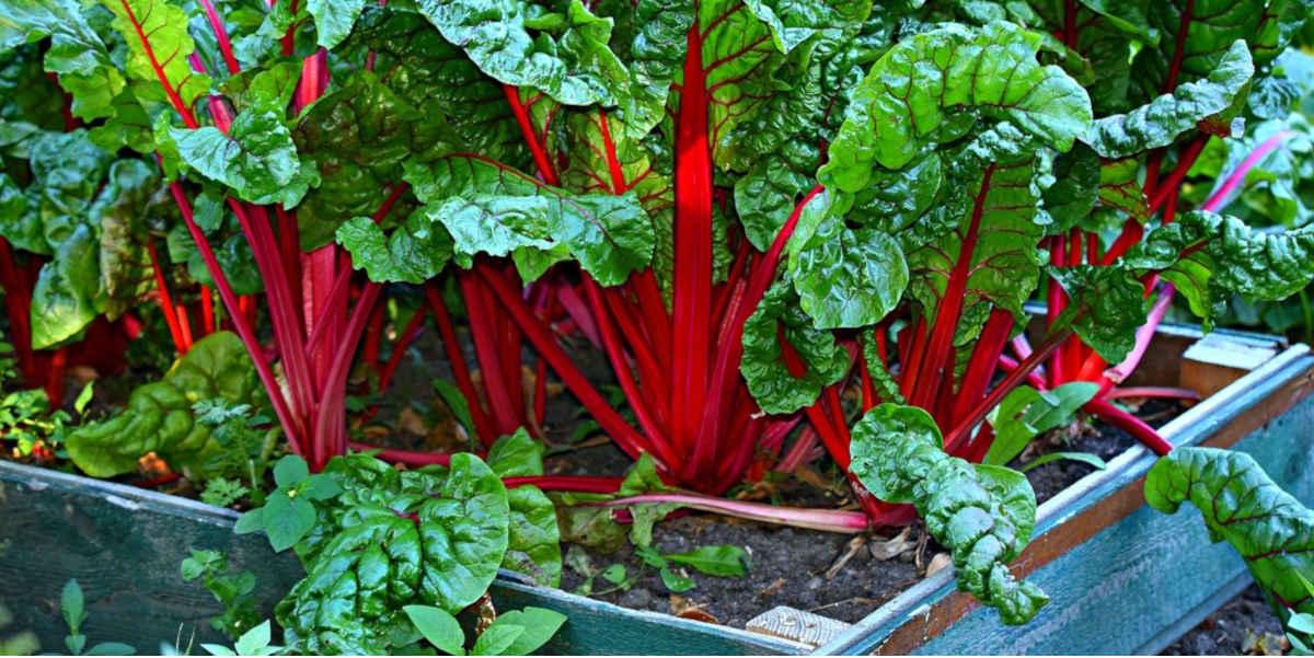 La bietola è uno dei vegetali dal più alto contenuto di magnesio