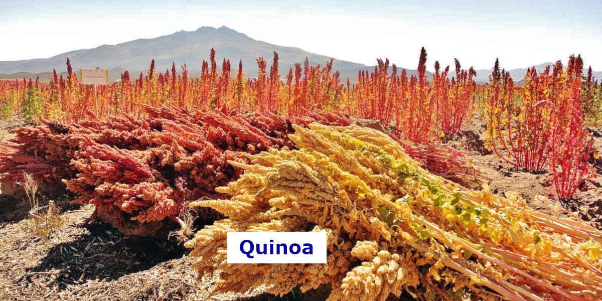 Questo campo di quinoa contiene un sacco di magnesio per la dieta